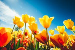 Tulipani di quanta luce del sole hanno bisogno