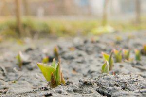 Tulipani di quale terreno hanno bisogno e come si piantano