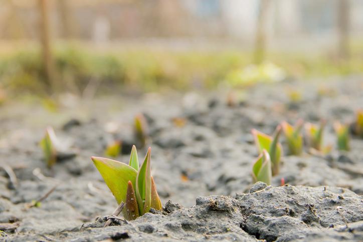 Come coltivare tulipani in vaso e a terra ... - Tuttogreen