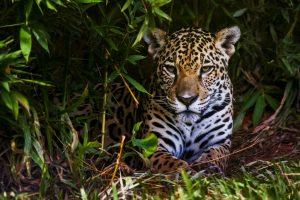ghepardo quali sono le differenze con il giaguaro