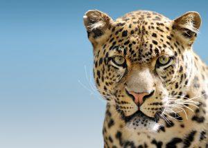 ghepardo quali sono le differenze con il leopardo