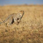Ghepardo: tutti i segreti di questo splendido felino