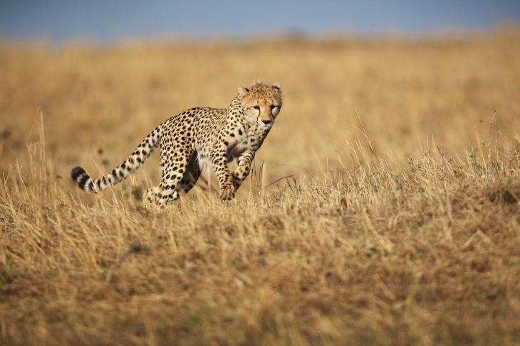 ghepardo tutti i segreti del felino