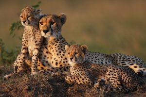 ghepardo i motivi del rischio estinzione