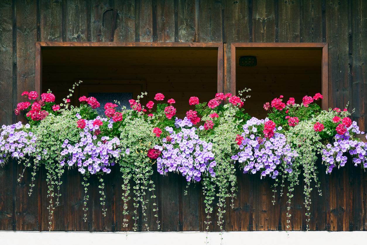 Fiori Perenni Da Balcone piante a cascata: sempreverdi, da balcone, da interno e da