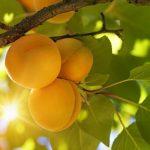 Albicocca: calorie, proprietà e come mangiarle