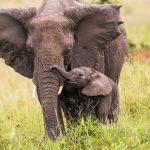Elefante africano: dimensione, caratteristiche e differenze da quello asiatico