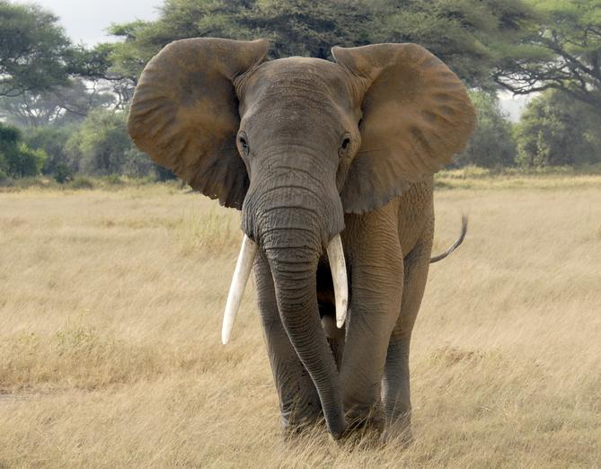 elefante africano quali sono le dimensioni