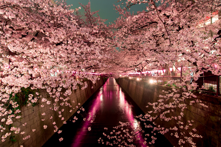 fiori di ciliegio la stagione i paesi dove vederli