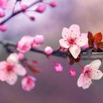 Fiori di ciliegio: significato, caratteristiche, quando e dove vederli.