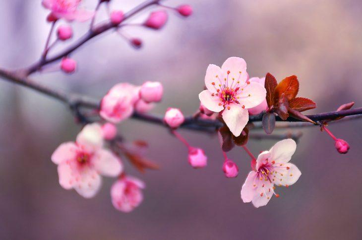 fiori di ciliegio qual é il loro significato