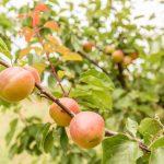 Potatura albicocco: come, quando farla e perché è importante