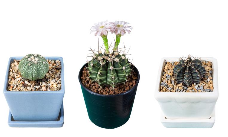 cactus i dieci tipi da coltivare in vaso