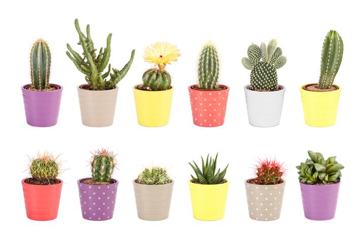 cactus quali sono le dieci specie da coltivare in vaso