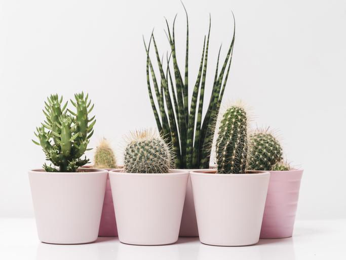 cactus quali tipi di pianta scegliere per la coltivazione in vaso