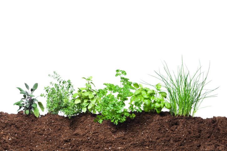 piante aromatiche i segreti della consociazione