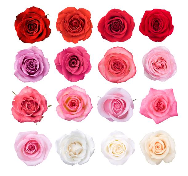 rosa significato di colori e numero