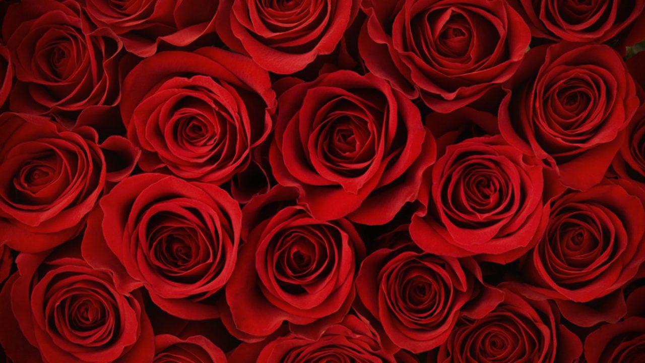 Rose Rampicanti Senza Spine rosa: significato, simbologia, varietà e caratteristiche