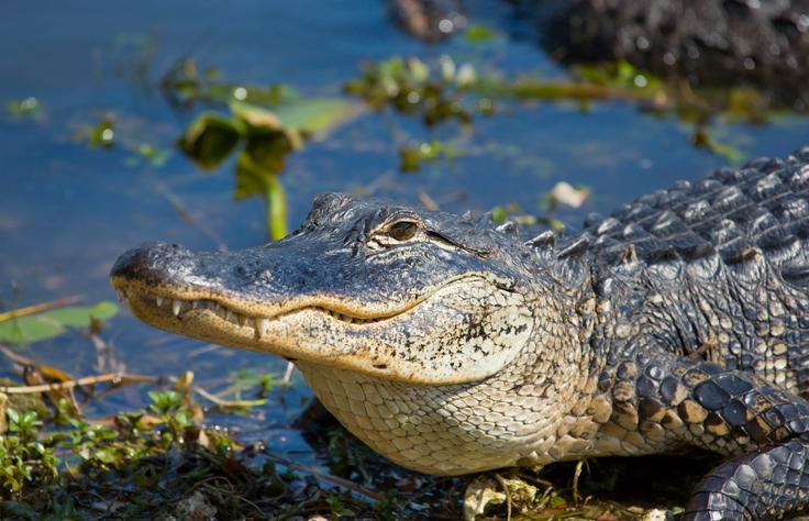 alligatore quali sono le caratteristiche