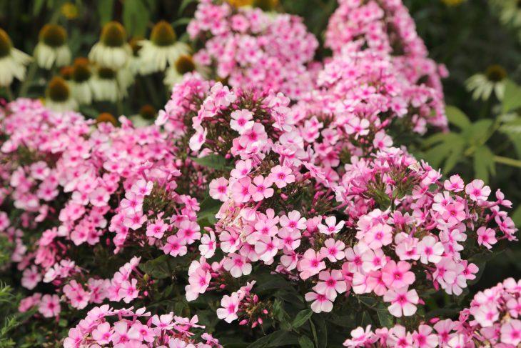 piante perenni coltivazione in giardino