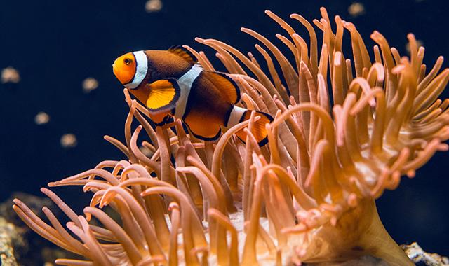 Pesce pagliaccio e anemoni