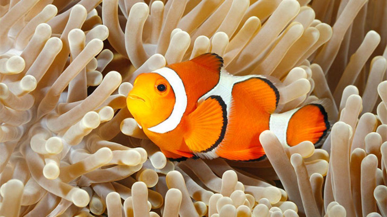 Pesce Pagliaccio E Anemone.Pesce Pagliaccio Tutte Le Curiosita Sul Pesce Nemo
