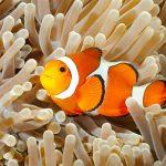 Pesce pagliaccio: tutto ciò che c'è da sapere sul pesce Disney