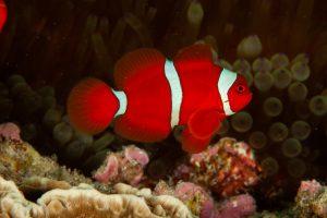 Pesce pagliaccio marrone tipologia
