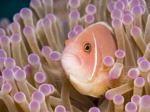 Pesce pagliaccio rosa skunk