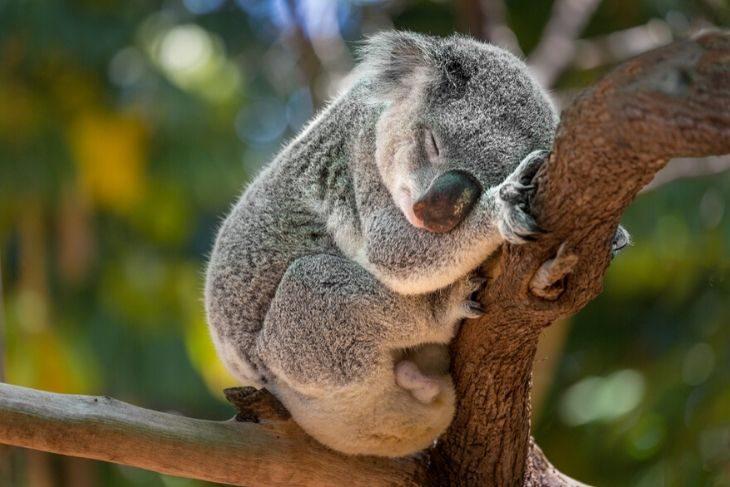 Koala Australia a rischio estinzione per incendi