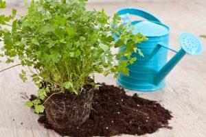 prezzemolo coltivazione in orto o vaso