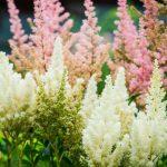 Astilbe: coltivazione e varietà della pianta da giardino