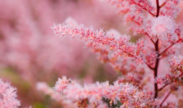 Astilbe bianca e rosa