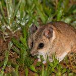 Incendi in Australia: il dunnart di Kangaroo Island potrebbe essere la prima specie estinta