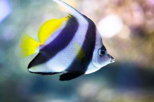 Pesci acquario marino tropicale