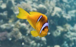 Pesce pagliaccio Clarkii acquario