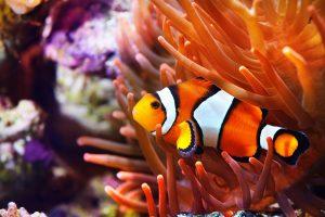 Pesce pagliaccio acquario marino
