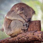 Australia, allarme del WWF: koala a rischio estinzione