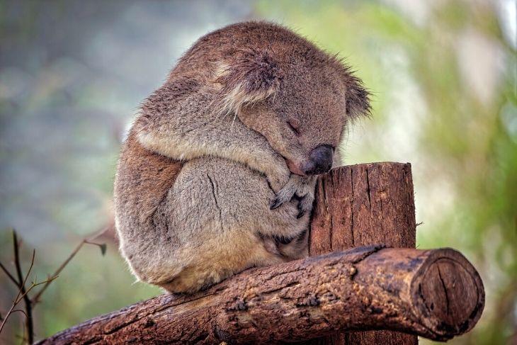 Koala a rischio estinzione