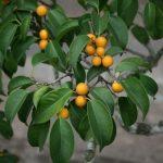 Ficus benjamin: storia, caratteristiche, curiosità e comportamento