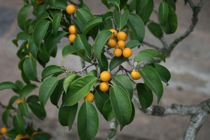Ficus benjamin storia