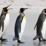 I pinguini africani sanno parlare: fanno discorsi come gli uomini