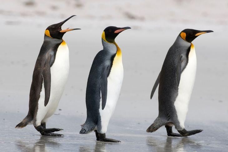 I pinguini africani sanno parlare come gli uomini