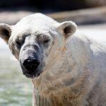 Orsi polari in via di estinzione: SOS cambiamento climatico