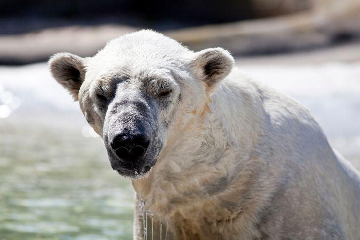 Orsi polari in via di estinzione rischio WWF