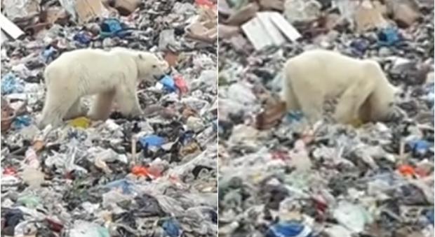 Orsi polari in via di estinzione