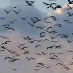 Settemila gru in volo sulla Liguria: spettacolo mozzafiato al Parco del Beigua