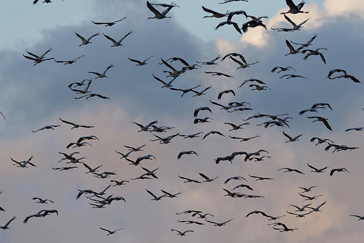 Settemila gru migrano dalla Liguria al Nord-Est europeo