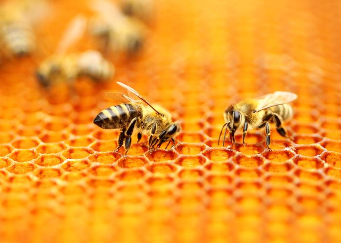 ape regina comportamento