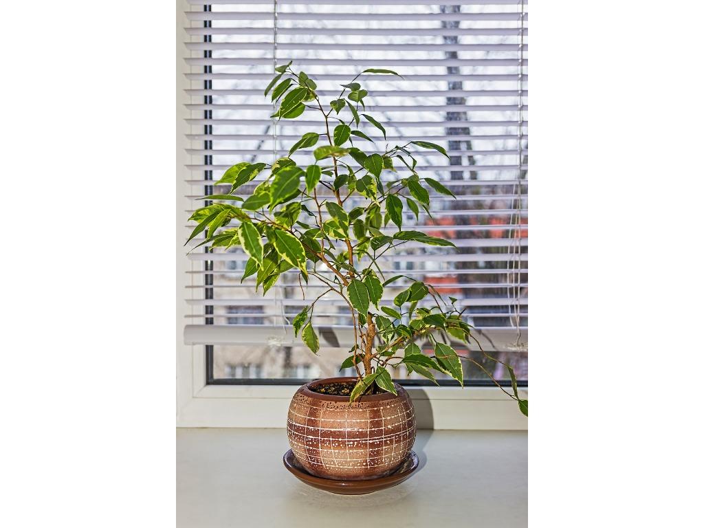 Ficus Benjamin Perde Foglie ficus benjamin: storia, caratteristiche, curiosità e